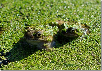 20120313-frogs-011