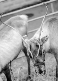 Reindeer-12