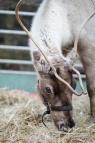 Reindeer-13