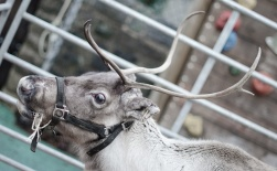 Reindeer-14