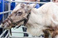 reindeer-015