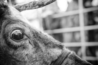 reindeer2016-014