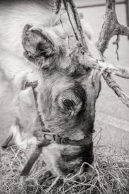 reindeer2016-030