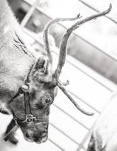 reindeer2016-051