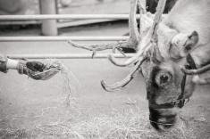 reindeer2016-063