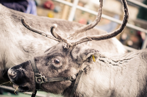 reindeer2016-066