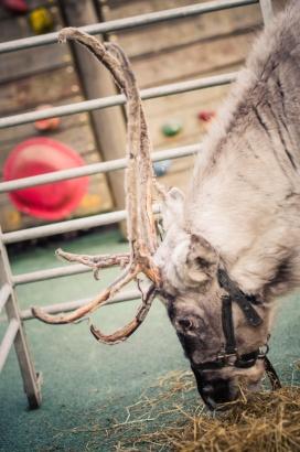 reindeer2016-072